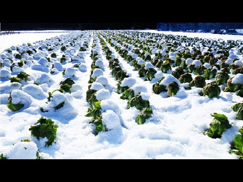 Amazing Japan Agriculture Technology - Sweet Vegetable under Snow Harvesting - Snow Farm