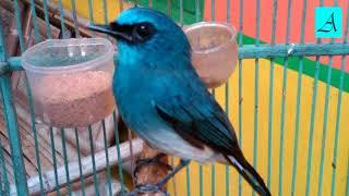 Langsung nyaut!!! Masteran Burung Selendang Biru super efektif bikin Burung Selendang Biru gacor dan