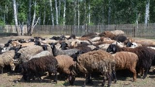 Содержание и разведение овец в фермерском хозяйстве Терешата