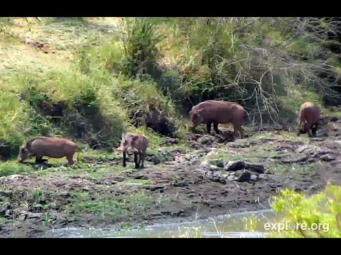 Warthog Family on Africa River cam. 22 February 2018