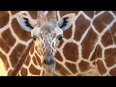 Thumbnail: IT'S A BOY! Meet Dallas Zoo's new baby giraffe
