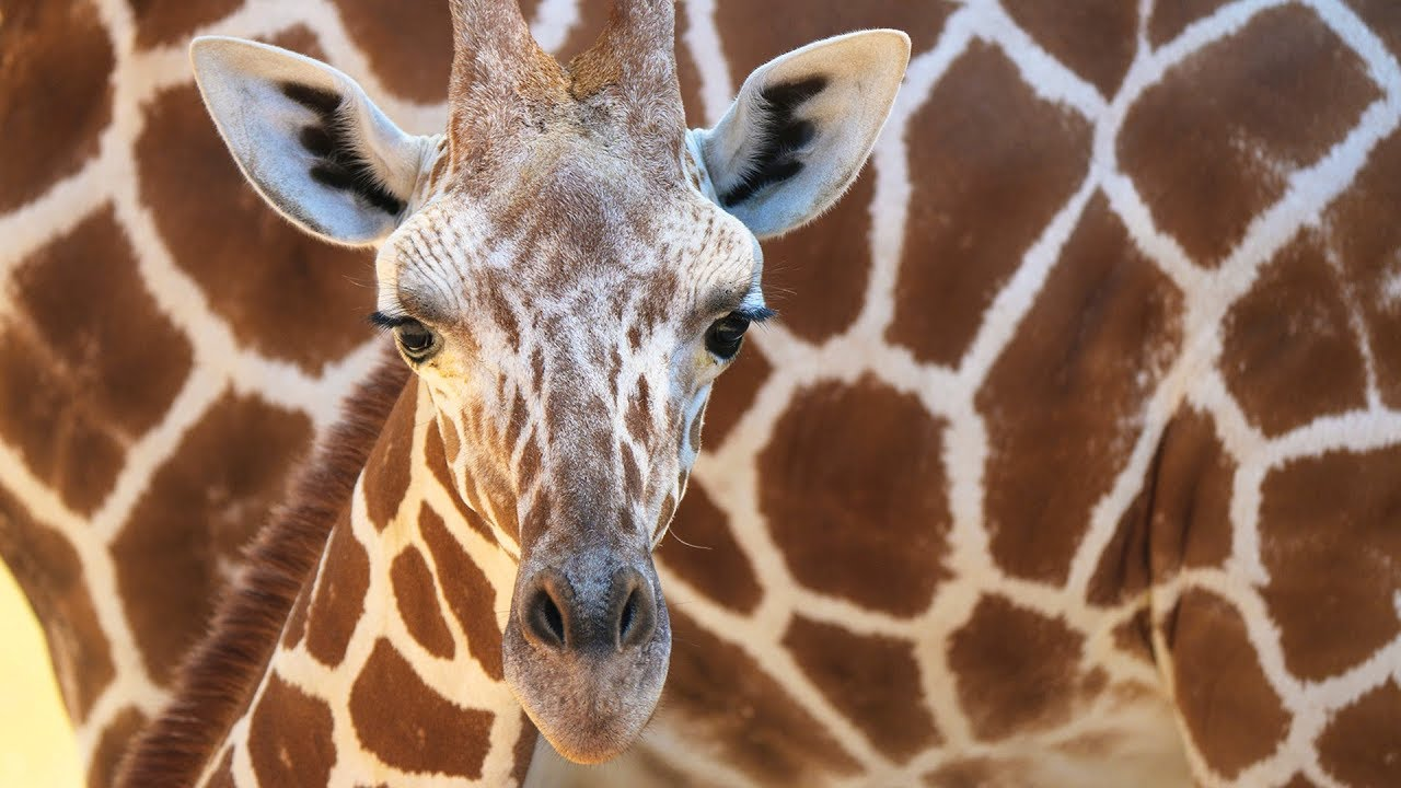 It S A Boy Meet Dallas Zoo S New Baby Giraffe Youtube