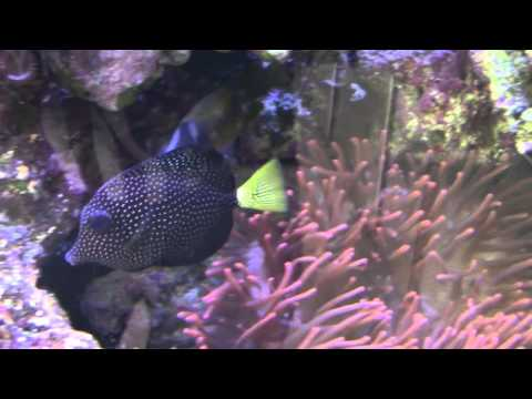 Masked Angelfish And Gem Tang At Stone Aquatics