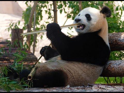 В Московском зоопарке празднуют день рождения панд Диндин и Жуи