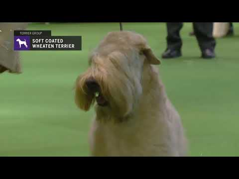 Soft Coated Wheaten Terriers | Breed Judging 2019