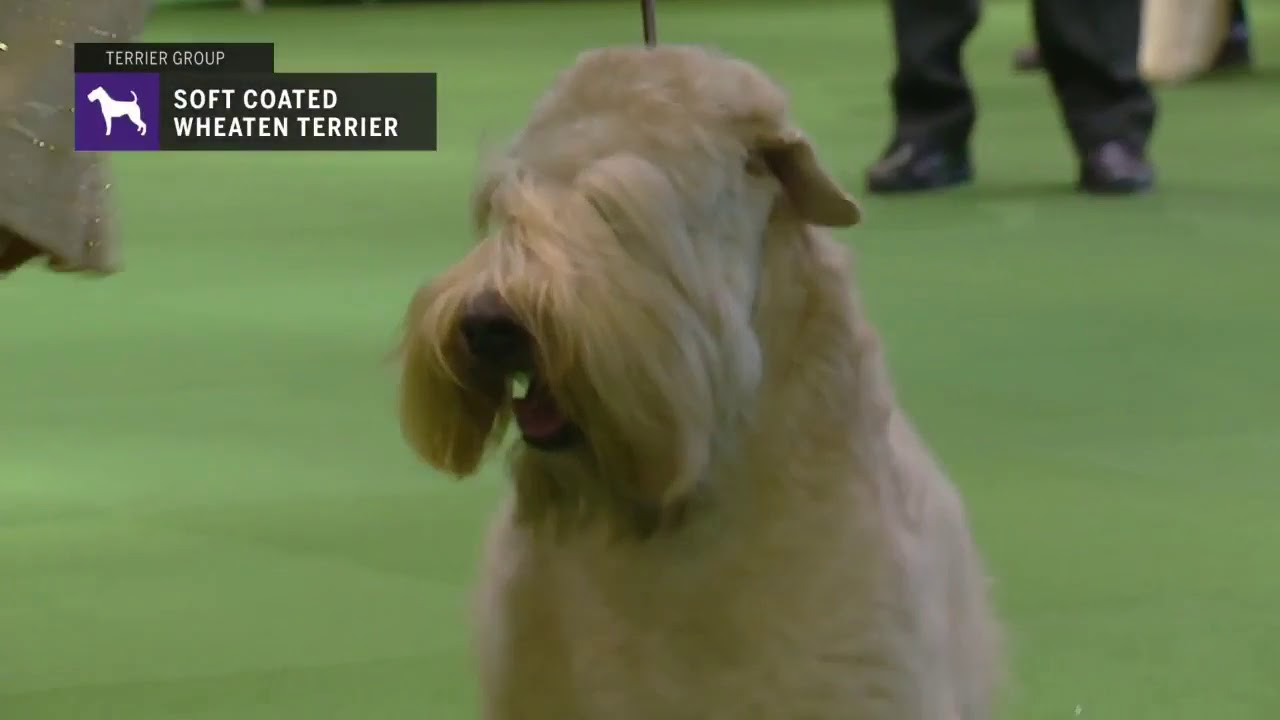 Soft Coated Wheaten Terriers Breed