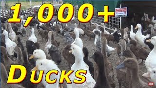 1,000+ Ducklings Live Stream 24/7