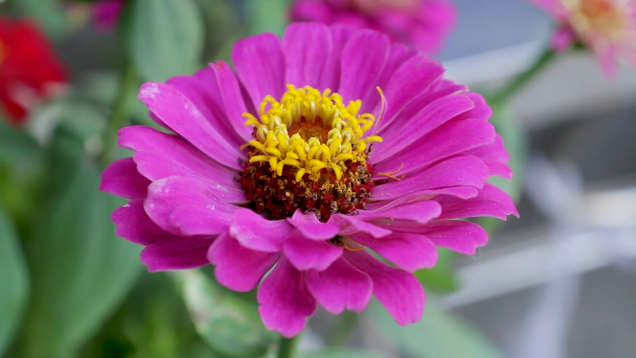 Purple Flower With Yellow Center Youtube