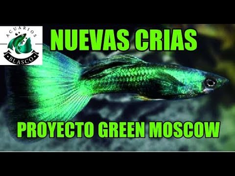 PRIMERAS CRIAS DE GUPPY GREEN MOSCOW