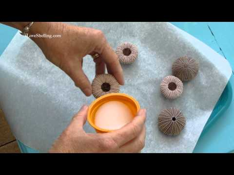How To Clean Sea Urchins