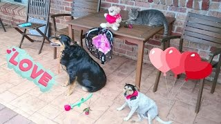 Cats and dogs playing together Fun Valentines day with cute pets!