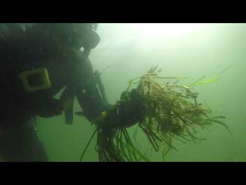Transplanting seagrass - bamboo skewer anchoring - breathing rhythm in head-deep water
