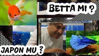 Japon Baliklarini Birakin Betta BaliĞi Alin, Akvaryum Balıkları, Akvaryum Faydal