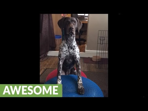 Athletic dog performs core fitness exercises