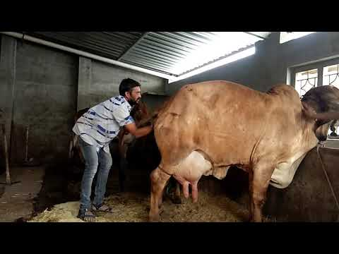 Dystocia in cow