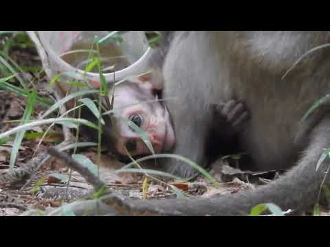 Baby Monkey Cry Loudly Cos Kidnapper Drag And Maltreat ST818 Mono Monkey