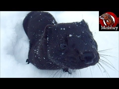 My pet mink Thioⁿba playing in the snow!