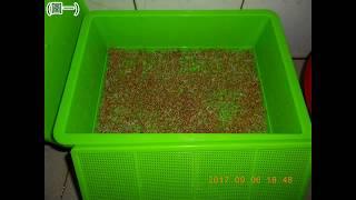 自己種的有機苜蓿芽如何清洗去殼呢...(圖解說明)