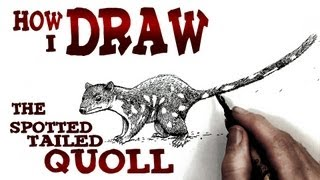 How to Draw the Spotted-tailed Quoll (intermediate)- Spoken Tutorial