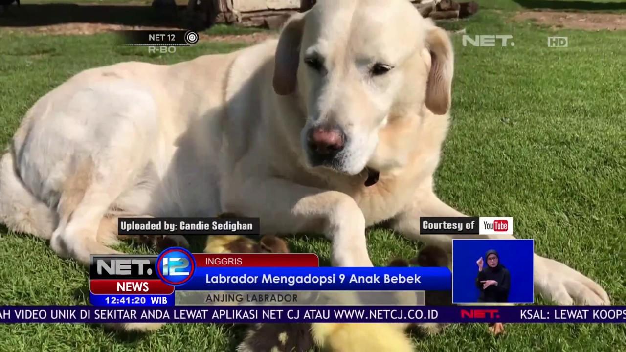 13+ Foto anjing labrador retriever terbaru