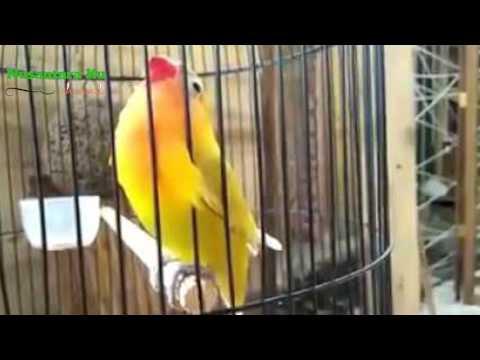 Rahasia Air Garam Untuk Burung Love Bird