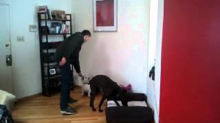 How To Train Your Dog - Door Greeting - Impulse Control - Positive Reinforcement - Dog Training