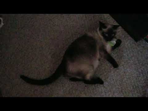 Siamese Cat Gets Some Catnip And Freaks Out