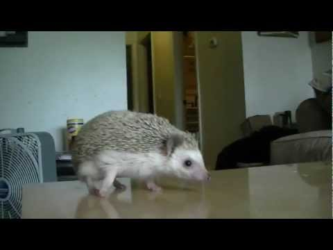African Pygmy Hedgehog Care Information