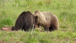 Bear Watching in Kuusamo, Finland. July 1, 2014.
