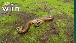 National Geographic: The Anaconda - A Heavyweight thumbnail