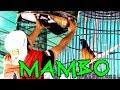 Dunia Hobi Aksi Murai Batu Mambo Juara  Di Event Bupati Landak Cup   Mp3 - Mp4 Download