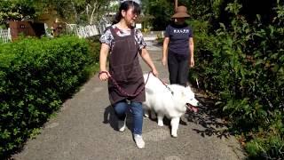 生後8か月、26㎏になったオリバー。トレーナーの田牧先生と一緒に近くの...