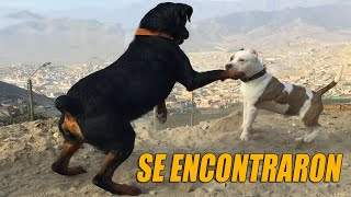 Pitbull VS Rottweiler  2 rottweilers face pitbull