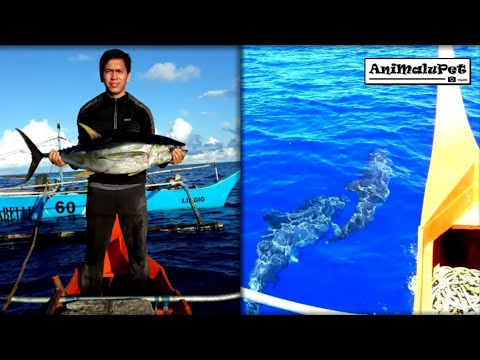 "Surigao Trolling or ""Subid"" Catch Bariles or Yellowfin Tuna 