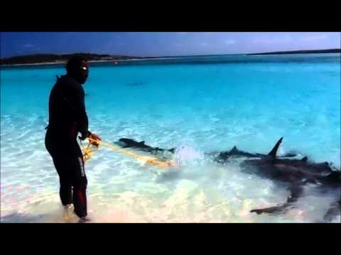 Shark Baiting- Ship Channel Cay