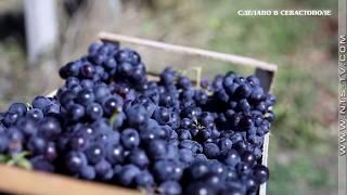 «Сделано в Севастополе». Проект создания качественных игристых вин. От лозы до бокала