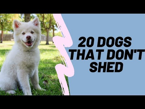 20 Dog That Don't Shed: Hypoallergenic Dog Breeds