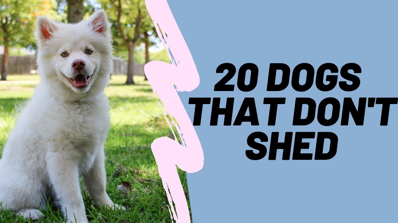 20 Dogs That Don T Shed Hypoallergenic