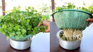 Grow Coriander at home in water; Dhaniya : Coriander in hydroponic system