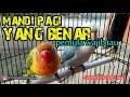 Cara Perawatan Lovebird Betina Dan Jantan Di Pagi Hari Yg Benar  Mp3 - Mp4 Download