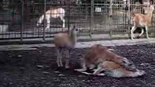 Amorous lamas