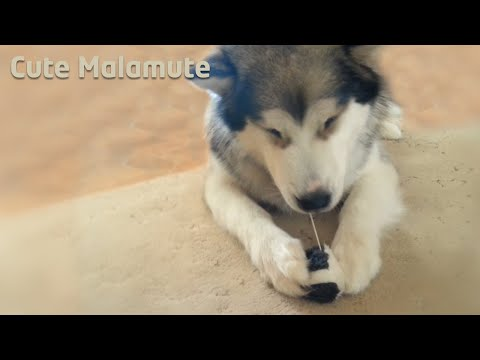 Alaskan Malamute with a funny toy