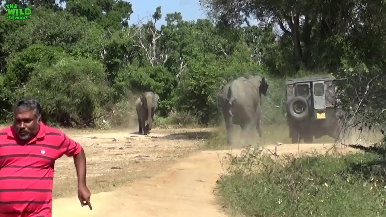Angry Baby and Mother elephant chases after a wildlife Medic team. Funny chase by the baby