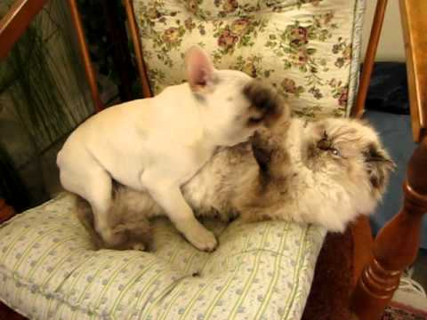 French Bulldog Plays With Cat