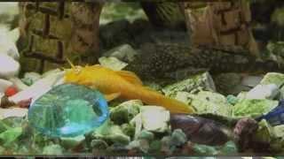 Домашняя ферма   Аквариумные рыбки Часть 2 HD(Во второй части программы