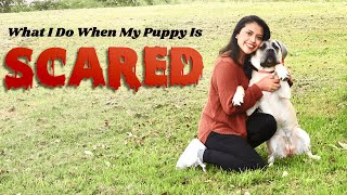 What I Do When My Cane Corso Puppy is Scared
