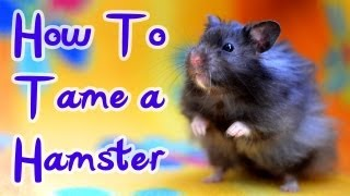 How To Tame A Hamster