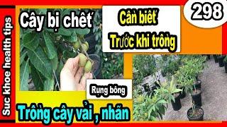 KINH NGHIỆM chủ vườn TẠI SAO CÂY KHÔNG LỚN trái vải NHÃN, nursery,#298 fruit tree care, SKHT