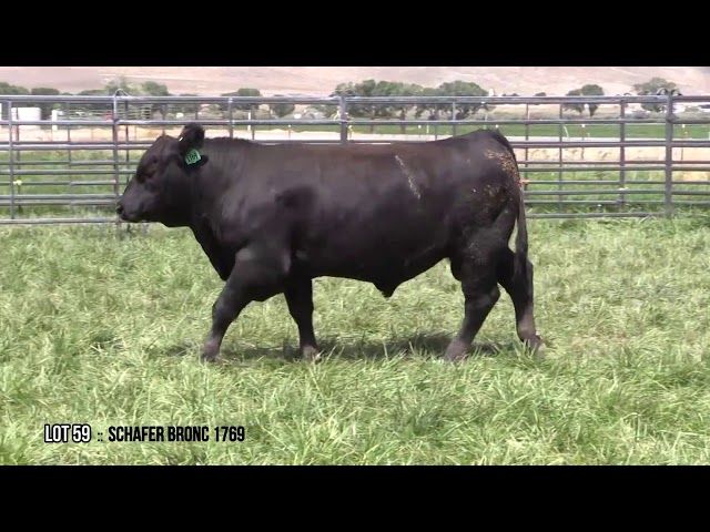Mid Valley Bull Sale Lot 59