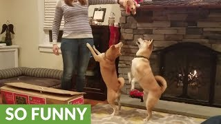 These Shiba Inu Dogs REALLY Get Into The Christmas Spirit!